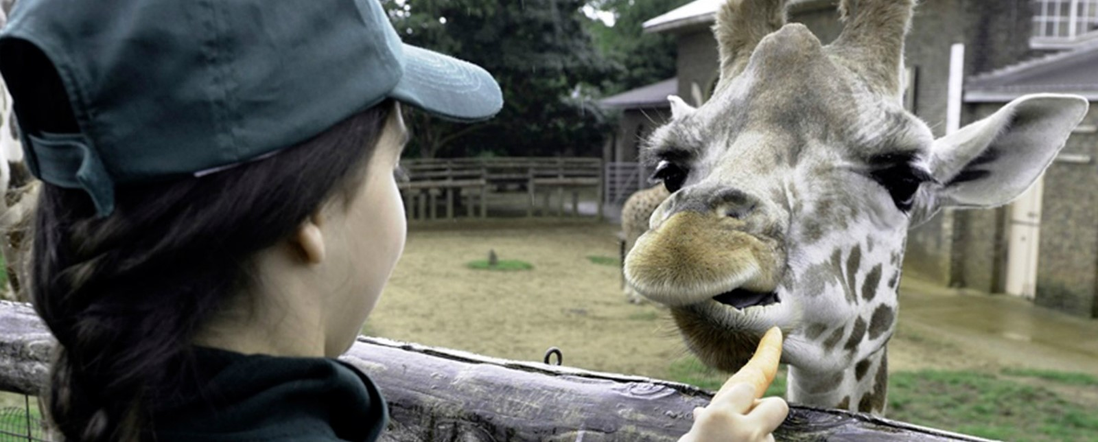 A child feeding a Giraffe at the Zoo